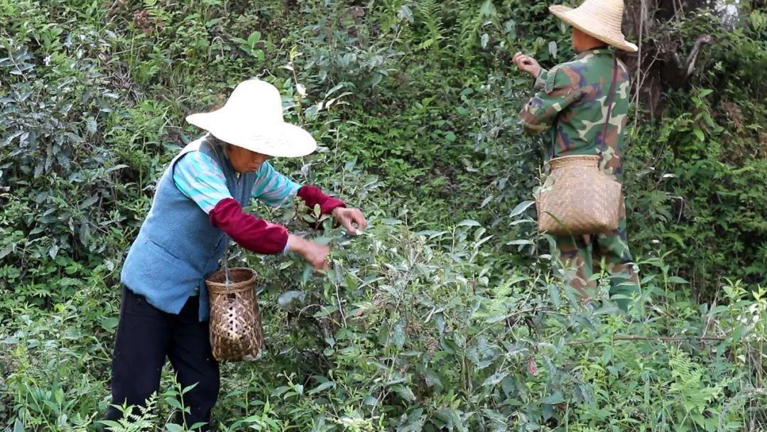 小菜茶和他的邻居们-黄坑植物探秘